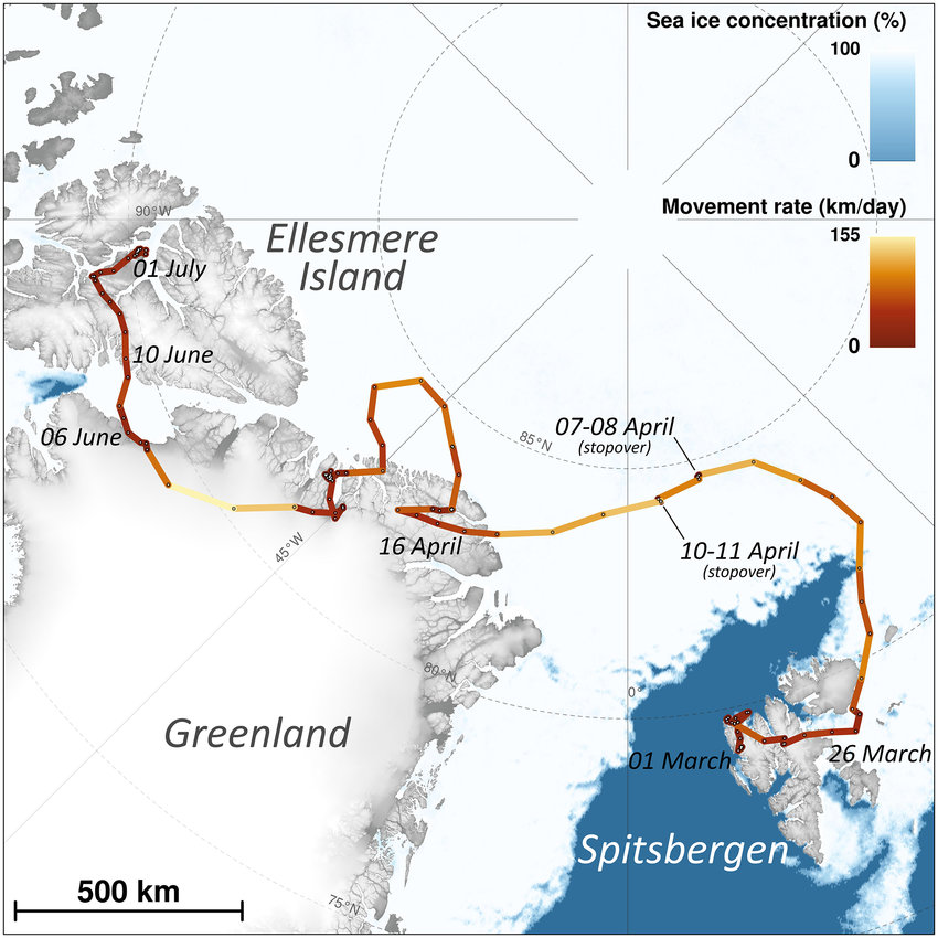 Large-scale movements of a young female Arctic fox from Svalbard tracked through Argos satellite telemetry from 1 March to 1 July 2018